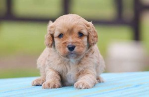 Red Cavoodle Puppy