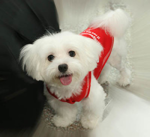 Pictures Of Maltese Puppies And Dogs