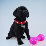 Black Puggle Puppy