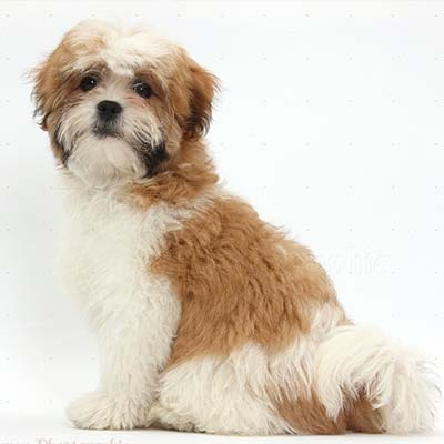Maltese-X-ShihTzu Dog Breed