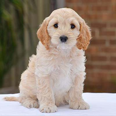 Spoodle Dog breed