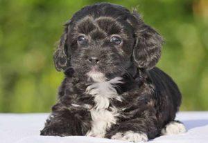Cavoodle-Puppy-black