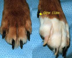 Dew claw