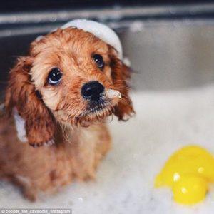 Cavoodle bath