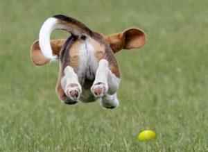 Beaglier puppy in the air