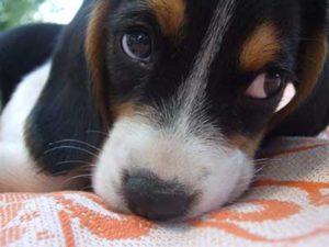 Beaglier Puppy eyes