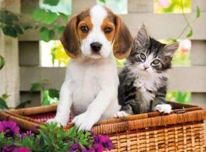 Beaglier and kitten